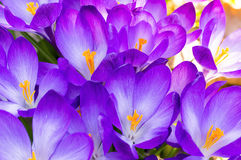 Some purple crocuses in spring. Macro of some purple crocuses in spring Stock Photography