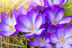 Some purple crocuses in spring. Macro of some purple crocuses in spring Royalty Free Stock Image