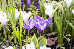 Some purple crocuses in spring Royalty Free Stock Photography