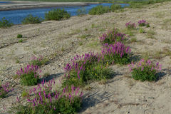 Some purple flowers along the riverbank. Lena river. Yakutia. Russia stock photos