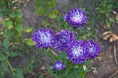 Some purple flowers  (chrysanthemum) Stock Images
