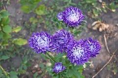 Some purple flowers  (chrysanthemum). In the garden Stock Photos