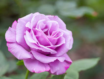 Some purple yellow roses. In the garden royalty free stock images