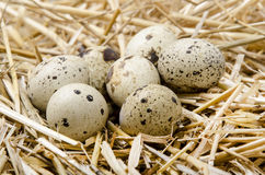 Some quail eggs lie in the straw. Speckled quail eggs lie in the straw Royalty Free Stock Images