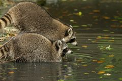Some raccoons play outside by the water royalty free stock image