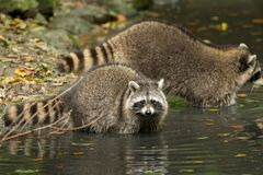 Some raccoons play outside by the water stock images