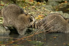 Some raccoons play outside by the water stock image