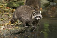 Some raccoons play outside by the water stock photography
