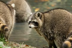 Some raccoons play outside by the water royalty free stock photography