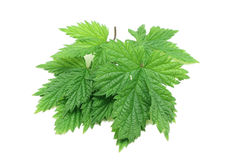 Some raspberry leaf. On a white background Royalty Free Stock Photo