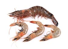 Some raw shrimps with different size. Royalty Free Stock Photography
