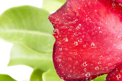 Some of red azalea flowers. With water drops Stock Photo