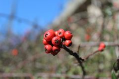 Some red berries stock image