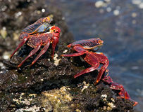 Some red crab sitting on the rocks. The Galapagos Islands. Pacific Ocean. Ecuador. Royalty Free Stock Images