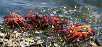 Some red crab sitting on the rocks. The Galapagos Islands. Pacific Ocean. Ecuador. Royalty Free Stock Photos
