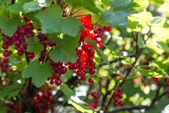 Red currants in the garden. Some Red currants in the garden Royalty Free Stock Images
