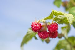 Some red dry raspberry on green bush.  royalty free stock image
