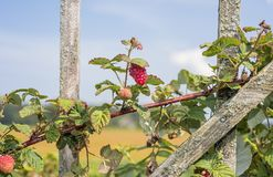 Some red dry raspberry on green bush.  stock photo
