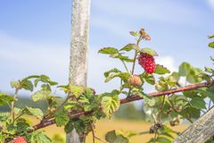 Some red dry raspberry on green bush.  royalty free stock images