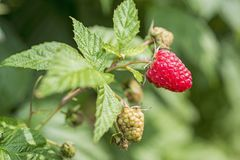 Some red dry raspberry on green bush.  stock photography