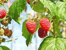 Some red dry raspberry. Some red dry raspberry on green bush royalty free stock photo