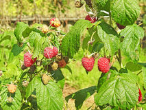 Some red dry raspberry. Some red dry raspberry on green bush royalty free stock photography