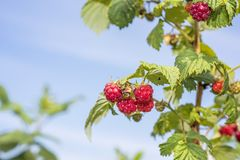 Some red dry raspberry on green bush.  royalty free stock photos