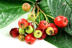Some red and green autumn berries Royalty Free Stock Photos