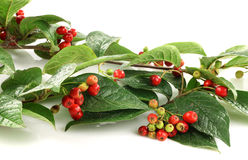 Some red and green autumn berries. And leaves isolated on white Stock Image