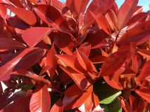Red leaves. Some red leaves royalty free stock photos