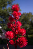 Red spikey Flowers Royalty Free Stock Photo
