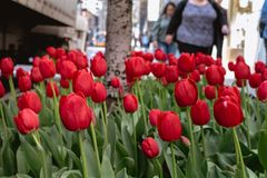 Some Red Tulips Roadside. Some freshly bloomed red tulips, found roadside on an upper east side street stock photos
