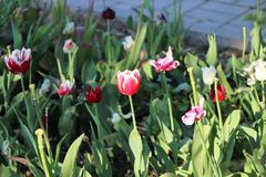 Some red and white tulips. Some spring red and white tulips in the city park Royalty Free Stock Photography