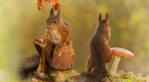 Some relation problems. Red squirrels are standing with mushrooms looking in different directions Royalty Free Stock Photos
