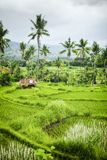 Some rice fields at Bali. An image of some rice fields at Bali stock photography