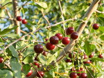 Some ripe cherries on a branch. Sunny evening. Summer time Royalty Free Stock Photos