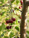 Some ripe cherries on a branch. Sunny evening. Summer time Stock Photo