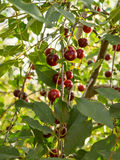 Some ripe cherries in focus on a branch. Some ripe berries on a branch in focus. Sunny evening light. Summer time Royalty Free Stock Photo