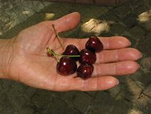 Some ripe cherry fruits. In the hand royalty free stock image