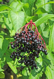 Some ripe elderberry on branch. Against the leaves Royalty Free Stock Image