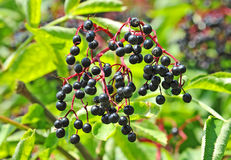 Some ripe elderberry on branch Stock Images