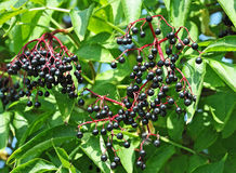 Some ripe elderberry on branch Stock Photography