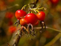 Some ripe hips. On a shining sun Royalty Free Stock Photo