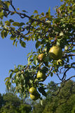 Closeup pears on branch. Some ripe pears on a tree in the late summer in the farmers field under blue sky stock photos