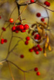 Some ripe Rowan berries on a branch. Ripe berries of mountain ash on a branch stock image
