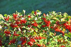 Some ripe viburnum on branch Royalty Free Stock Image