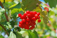 Some ripe viburnum on branch. Against the leaves Stock Photos