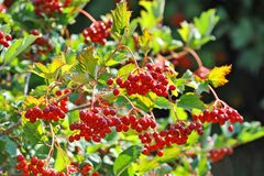 Some ripe viburnum on branch, DOF. Some ripe viburnum on branch against the leaves, DOF Royalty Free Stock Photography