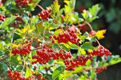 Some ripe viburnum on branch, DOF Royalty Free Stock Photography