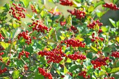 Some ripe viburnum on branch, DOF Royalty Free Stock Images